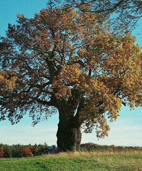 The 500 year old oak tree
