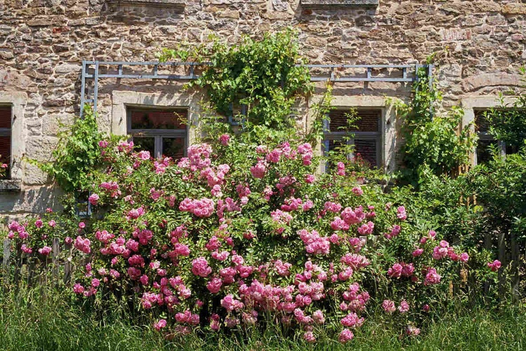 roses in front of the house